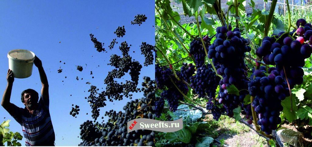 процесс сбора винограда